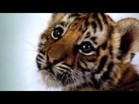 Baby Tigers – kis tigrisek