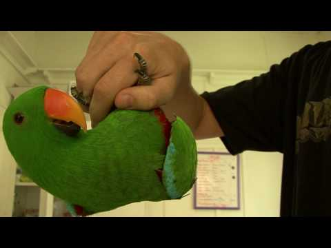 Echo the SI Eclectus Parrot