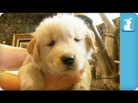 golden retreiver - Even the cutest puppies need baths sometimes! Subscribe to The Pet Collective: http://bit.ly/tpcsub Facebook: http://www.facebook.com/thepetcollective Twitte...
