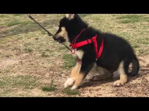 Suvan Wolfdog puppy from JG Wolfdogs
