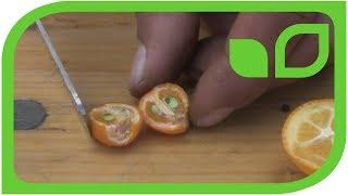 Minikumquats: Ernten und degustieren