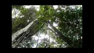 Figtree Australia  city photos : Giant Fig Tree Aerial Root Mebbin National Park NSW Australia January 6, 2012