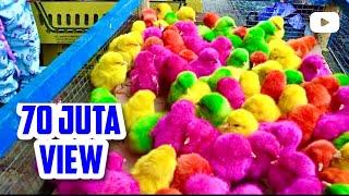 Video Ayam lucu warna warni | Ayam Rainbow Beli di Pasar | Vlog Adiva Ainun MP3, 3GP, MP4, WEBM, AVI, FLV Juni 2018