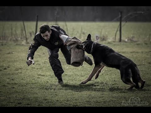 Video BEST police attack K9 take down hard hitting service protection dog funny wipeout schutzhund download in MP3, 3GP, MP4, WEBM, AVI, FLV January 2017