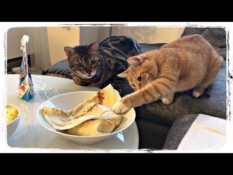 Funny cat videos - СМЕШНЫЕ КОТЫ ПОДБОРКА (FUNNY CATS COMPILATION), приколы с котами (fun with cats) #463