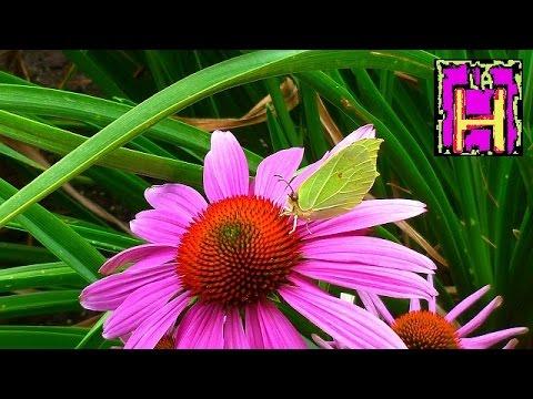 echinacea: l'antibiotico naturale senza effetti collaterali