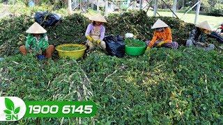 Thu nhập hàng chục triệu đồng 1 tháng nhờ trồng rau nhút và rau ngổ
