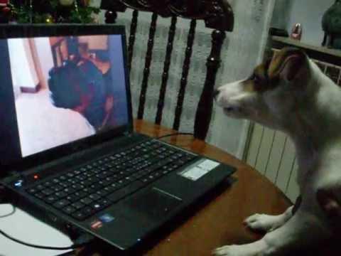 un bulldog alle prese con un tablet