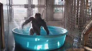 Gorilla goes crazy having fun in paddling pool