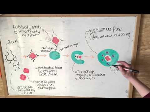 Specific Immunity SNAB A2 | Biology Banter