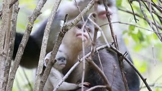 A female black snub-nosed monkey gave birth for the second consecutive year in southwest China's Yunnan Province earlier this month, marking a breakthrough i...
