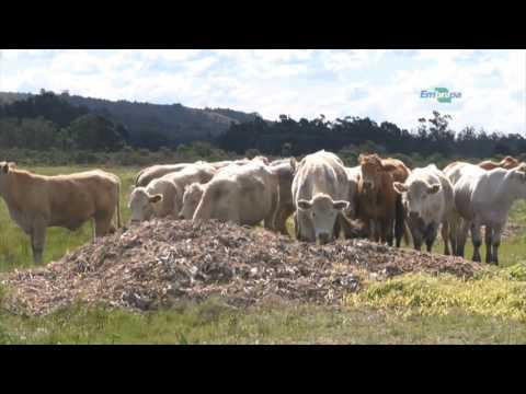 Quadro - Repórter em Campo: Óleo de girassol na dieta das vacas