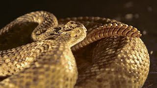 Rattlesnake Tail In Slow Motion - BBC Earth