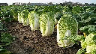 Video Beautiful Chinese Cabbage Farm and Harvest in Japan - Japan Agriculture Technology #47 MP3, 3GP, MP4, WEBM, AVI, FLV April 2019