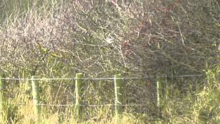 Video Masked Shrike, Kilnsea, 24th September 2014 MP3, 3GP, MP4, WEBM, AVI, FLV Agustus 2018