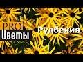 Рудбекия Описание, выращивание, посадка и уход Программа PRO Цветы (ПРО Цветы)
