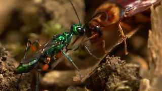 Video Beautiful wasp zombifies cockroach MP3, 3GP, MP4, WEBM, AVI, FLV Agustus 2019