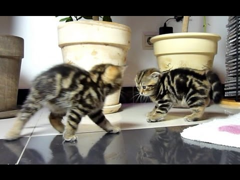 Funny dancing fighting kittens - YouTube
