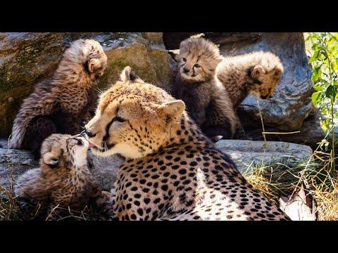 Kronberg: Opel-Zoo - sechs Gepardenbabys dürfen endlich ...