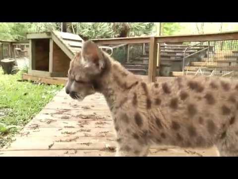 [CUTENESS ALERT] Rescued Florida Panther Kitten