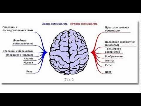 Под корой больших полушарий находится белое вещество мозга, состоящее из нервных волокон