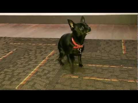Funny Cute Dancing Chihuahua Puppy Farfi Stars in Talent Hounds Auditions