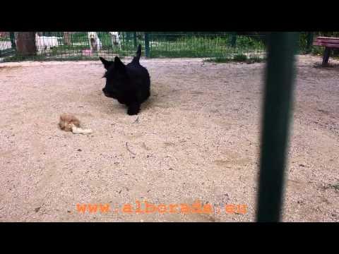 Video de Alborada Naomi, una cachorra Scottish Terrier muy cariñosa, en el que juega con un juguete con forma de ratón