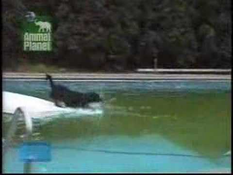 Swimming clever dog