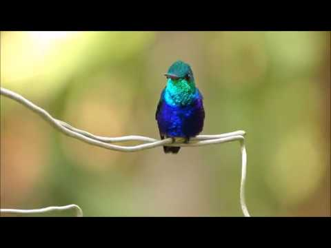Violet-bellied Hummingbird Iridescence HD