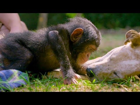 Puppies and Baby Chimpanzees Make The Cutest Friends | BBC Earth