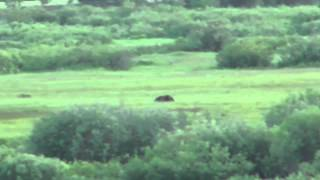 Video How Fast Can a Grizzly Bear Run? MP3, 3GP, MP4, WEBM, AVI, FLV Mei 2017