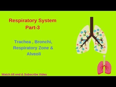 Respiratory system -trachea & respiratory zone