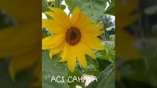 ACI CAHAYA - ANA UHIBBUKA FILLAH (Lirik)