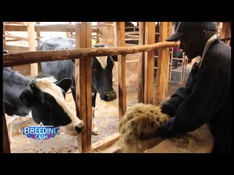 BREEDING CASH; DAIRY FARMING IN DEL'S FARM