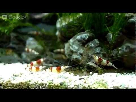CRS and Tiger Shrimp Watch on PlantedTankUK