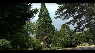 Óriás mamutfenyő (Sequoiadendron giganteum)