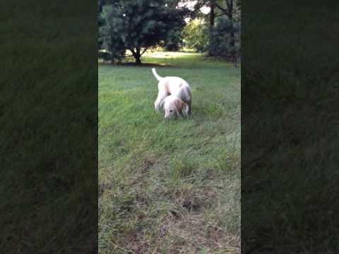 Sammy playing in the yard