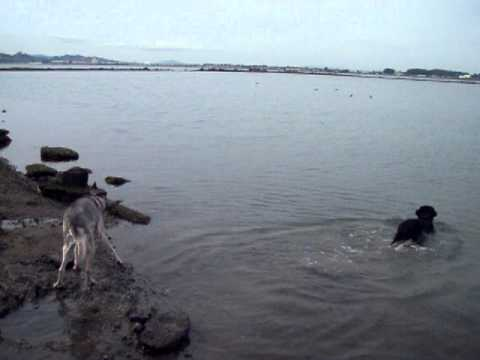 monkichia - mojo and lia at the albany bulb's pond, swimming and fetching!