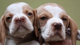 Anadolu köpek cinslerinden Çatal burun av köpeklerini anlatıyoruz