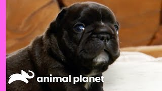Adventurous French Bulldog Pups Can Get Up To All Sorts Of Mischief! | Too Cute! by Animal Planet