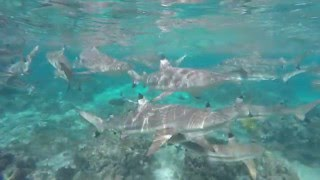 Huahine Island French Polynesia  city pictures gallery : SWIMMING WITH SHARKS - Huahine Island, French Polynesia