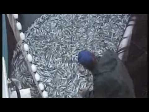 Fishing Vessel Purse Seiner Ship Loading Sardine in Croatia Part 2 (HD)