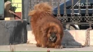 Nonton The Dearest Chinese Tibetan Mastiff 1500 000usd Film Subtitle Indonesia Streaming Movie Download
