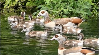 Plumed Whistling Duck with Ducklings