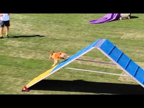 Small Dog Agility – 2013 Purina® Incredible Dog Challenge® Las Vegas