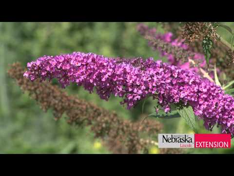 Garden tips - UNL Extension Educator Natalia Bjorklund gives us tips on attracting butterflies by making a more inviting habitat, including food and nectar sources, water,...
