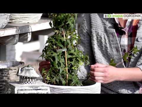 Kocham Tę Roślinę - Bluszcz Pospolity S03 E04