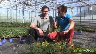 #1057 Zierpflanzenzüchtung eine neue Farbe bei Bidens