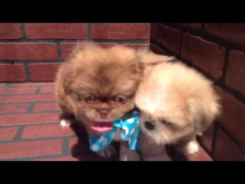 Pekingese puppy for sale in San Diego