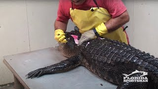 How to Clean, Fillet, Debone and Skin an Alligator